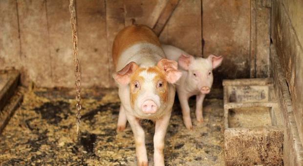 KE: Wzrasta eksport unijnej wieprzowiny na rynki azjatyckie