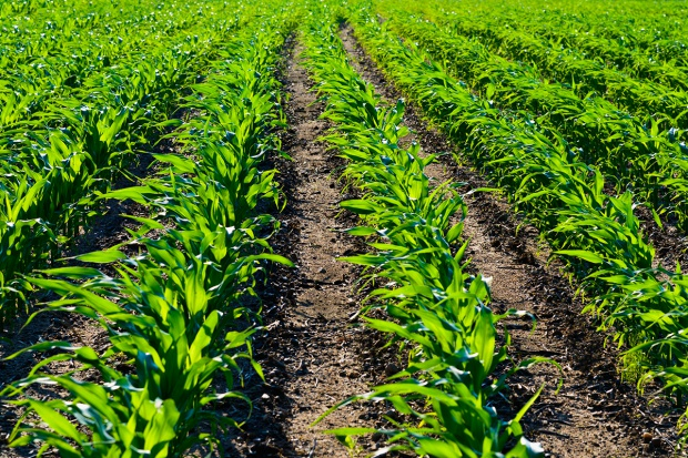 Warte uwagi składniki herbicydów doglebowych w uprawie kukurydzy