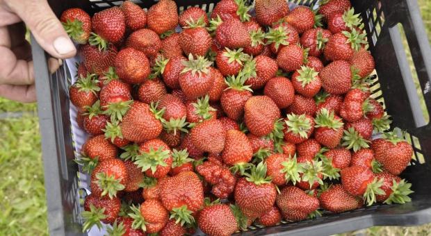 Rolnicy: Ceny truskawek są za niskie