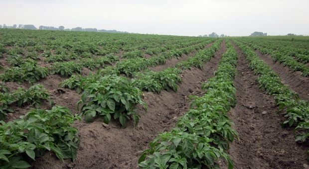 Mocznik i siarczan magnezu w nawożeniu dolistnym ziemniaka
