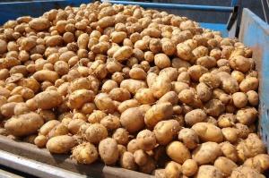 Będą ułatwienia przy eksporcie młodych ziemniaków