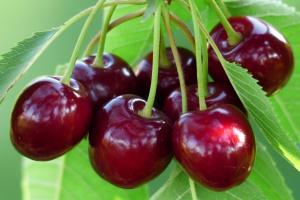 Zbiory wiśni w Polsce wzrosną o około 10 proc.