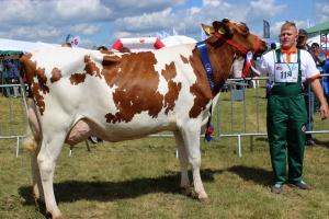 Czempion w kategorii krowy pierwiastki rasy polskiej holsztyńsko – fryzyjskiej odmiany czarno-białej i czerwono-białej