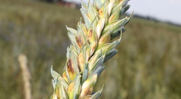 Są już objawy septoriozy na plewach zbóż