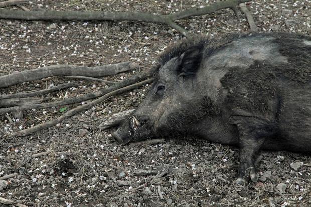 Mięso z dzika szkodzi?