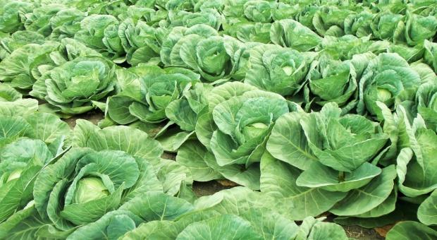 Rośnie powierzchnia uprawy warzyw gruntowych w Niemczech