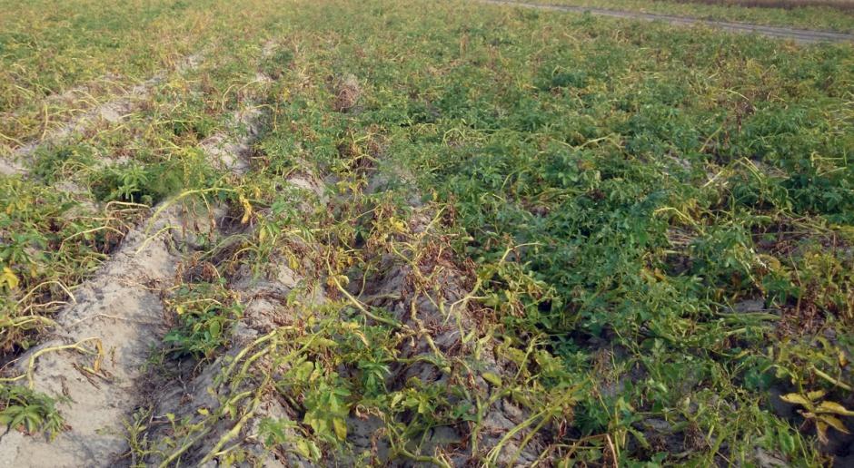 Zaraza  i alternarioza – czas intensywnej ochrony plantacji ziemniaczanych
