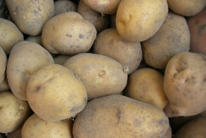 Europa szuka ziemniaków