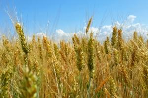 Zniżka cen zbóż