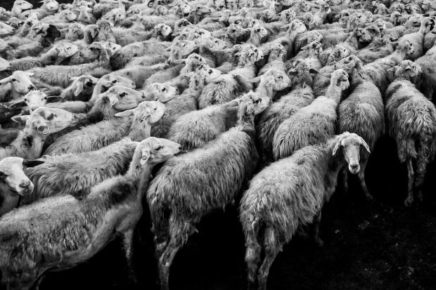 UE: Spadają ceny owiec