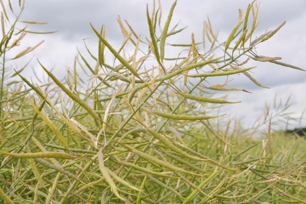 Skleić łuszczyny, zanim nasiona się osypią