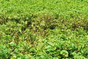 Zwalczanie alternariozy i zarazy ziemniaka