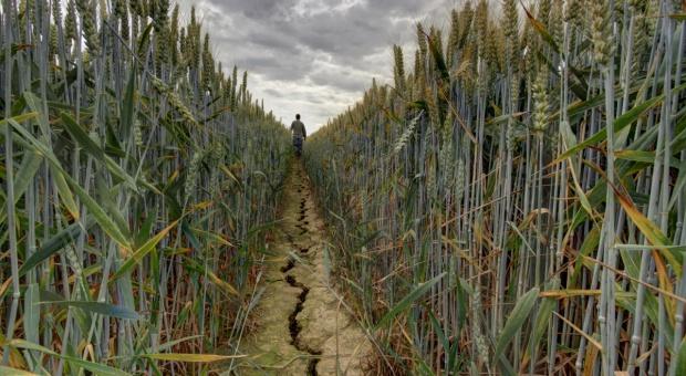 Pomoc po ubiegłorocznej suszy – zaliczkowo 2,5 tys. zł