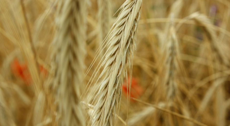 Ponowny spadek cen zbóż