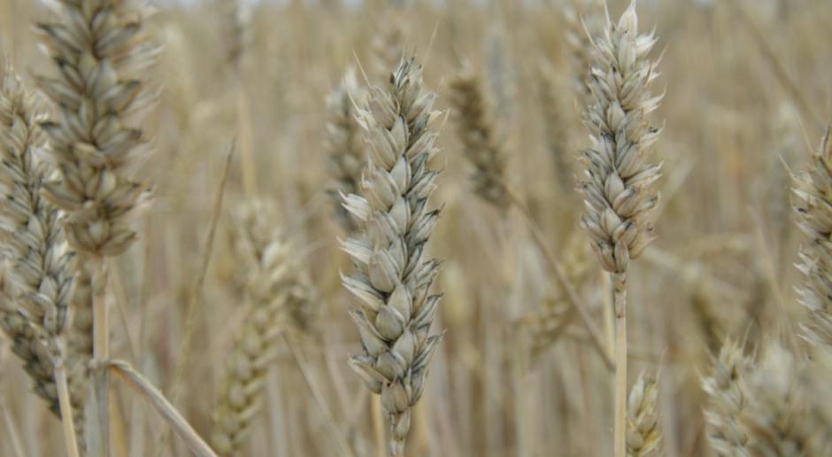 Czerń zbóż w tym sezonie nie odpuści