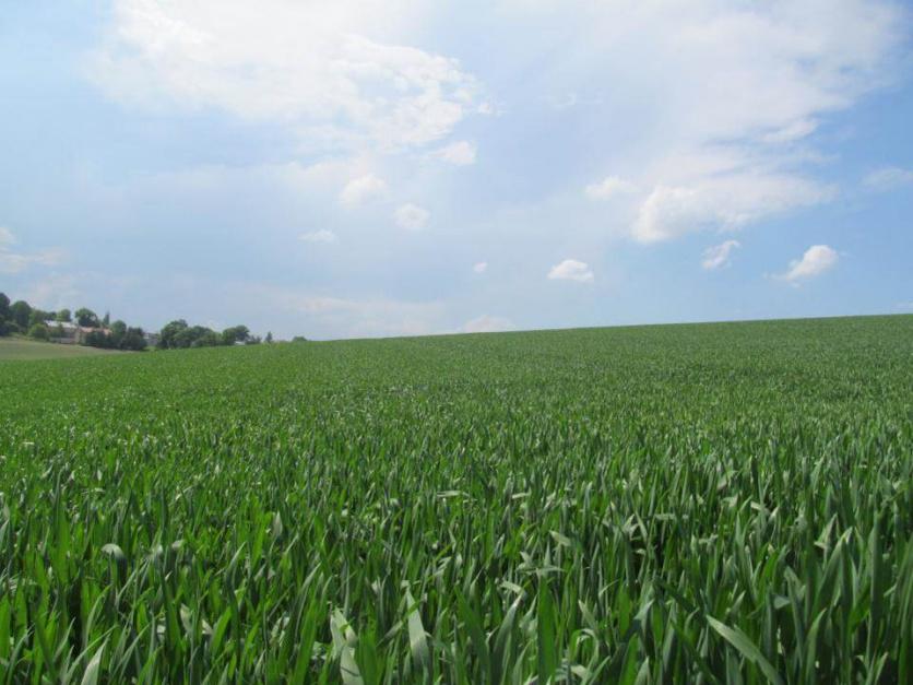 Foto 2. Pszenica jara – czas na drugi zabieg fungicydowy (np. Menara 0,5 l/ha)