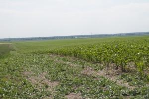 Pole kukurydzy obsiane ostropestem plamistym; Fot. J.Groszyk