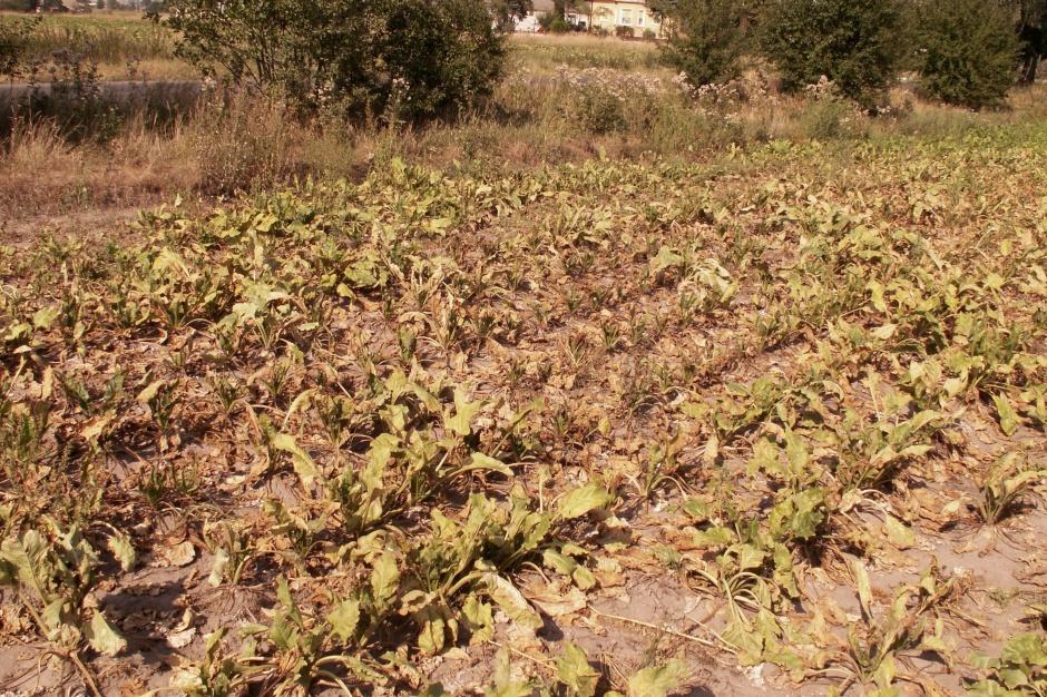 Największe uszkodzenia obserwuje się zawsze na skrajach plantacji, na które szkodnik nachodzi z miedz i przydroży