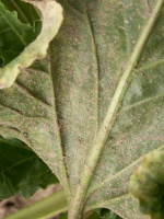 Silne zabrudzenie spodniej strony liści może być sygnałem ostrzegawczym obecności roztoczy