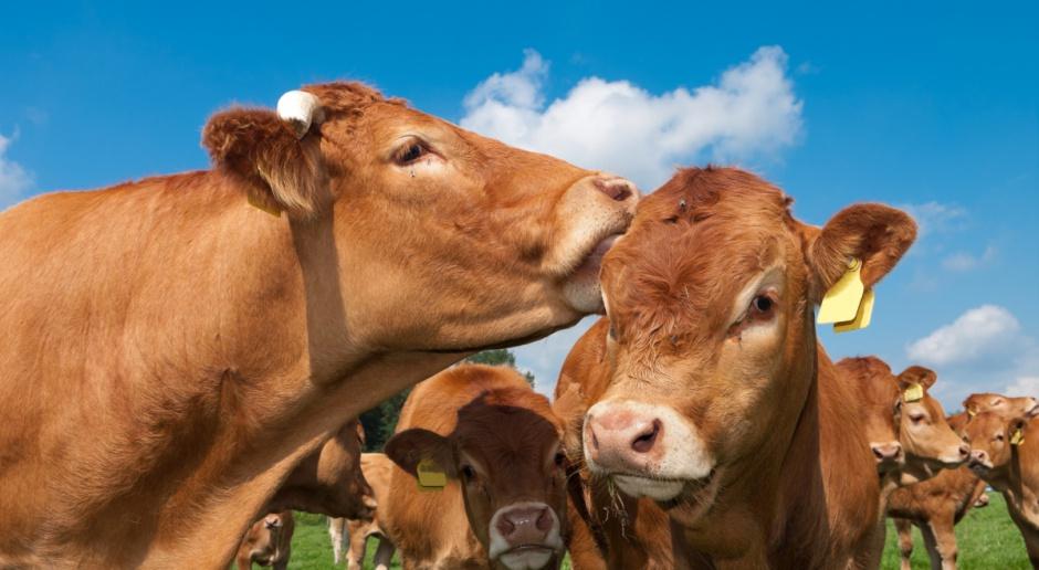 GUS: W maju podrożały ziemniaki oraz żywiec wołowy i wieprzowy