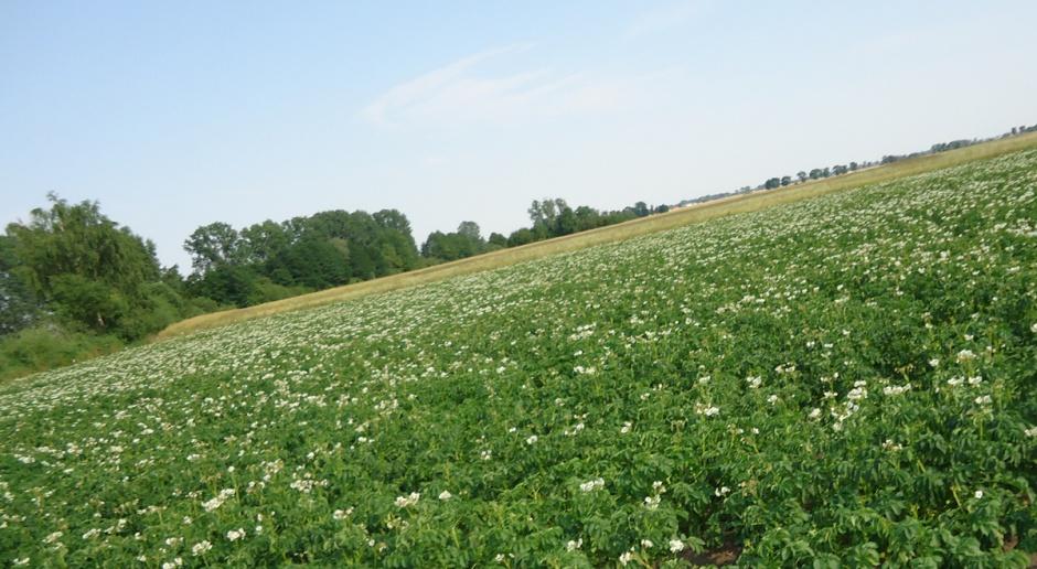 Stan plantacji ziemniaczanych w kraju