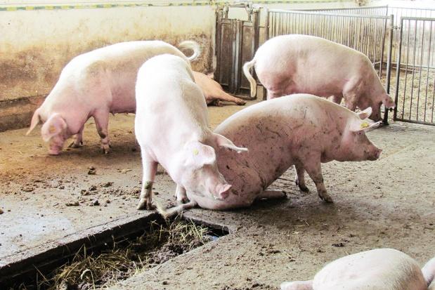 Kulawizny - poważny problem loch w intensywnej produkcji