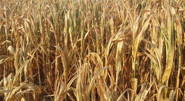 MRiRW: Działają już pierwsze komisje szacujące straty suszowe