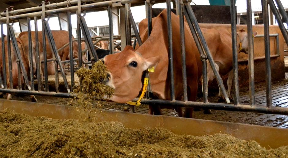 Czy Twoje krowy sortują paszę?