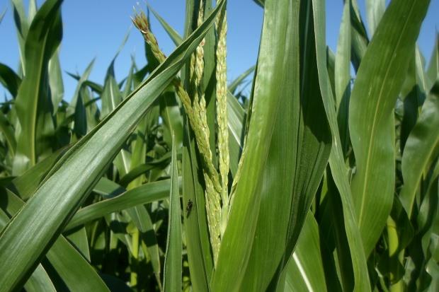 Widać już pierwsze wiechy w kukurydzy