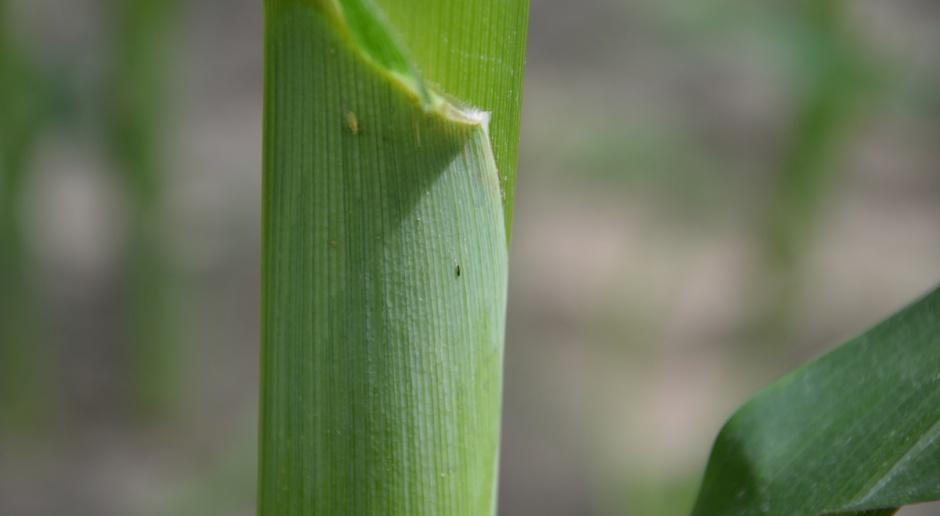 Wciornastki i mszyce w kukurydzy