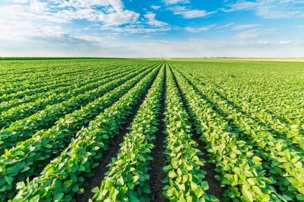 Kukurydza i soja mocno drożeją