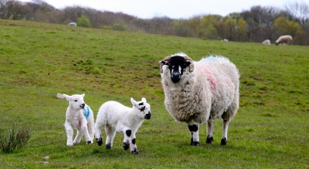 Przed 20 laty przyszła na świat owieczka Dolly