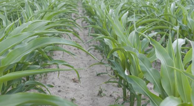 Kukurydza zagrożona fuzariozą kolb