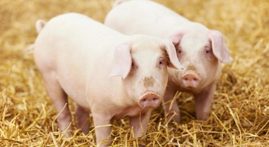 Spada pogłowie świń w Niemczech