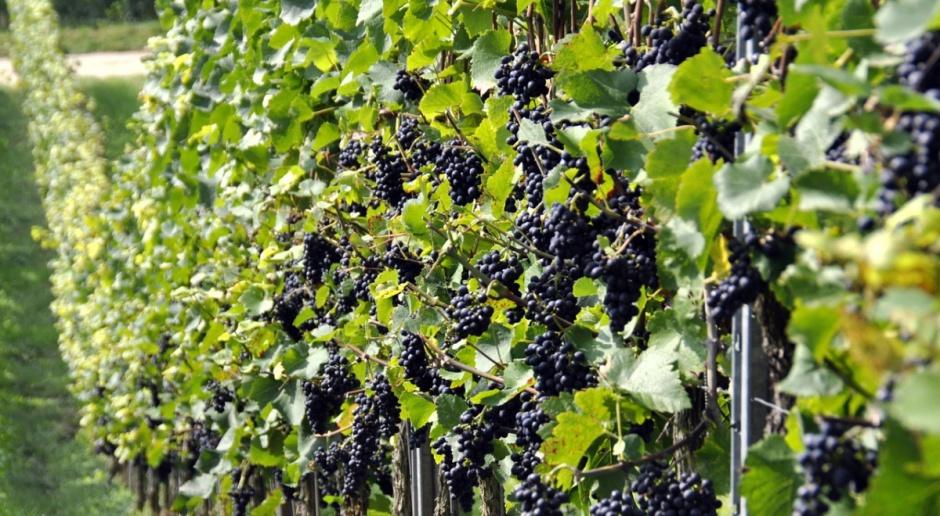 Copa-Cogeca: Niższe zbiory winogron w UE