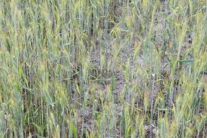 Serwis ASAP ponownie monitoruje suszę rolniczą