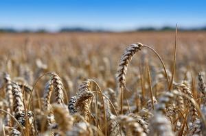 Czechy: Prognoza mniejszych zbiorów zbóż w 2016 r.