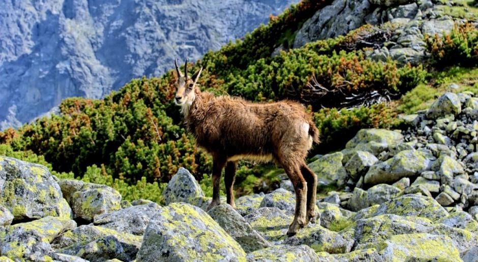 Liczba kozic w Tatrach nieco większa niż w ubiegłym roku