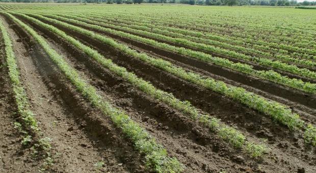Dramatyczna sytuacja na plantacjach warzyw w Europie Zachodniej