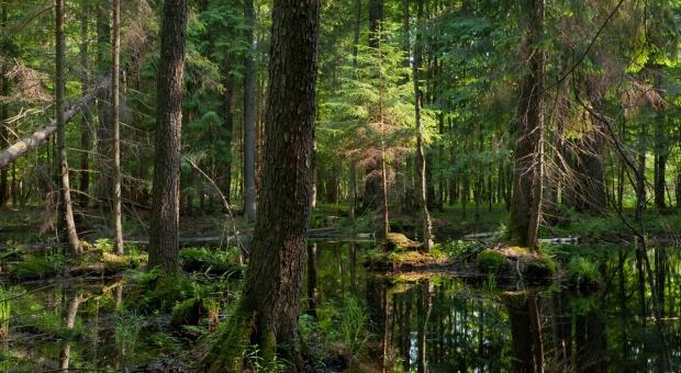Lasy Państwowe: Coraz więcej kornika w Puszczy Białowieskiej