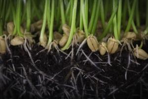 W czasie suszy trawy - w tym zboża - reformują korzenie