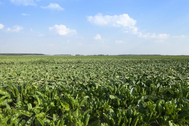 Ceny cukru rosną, mimo dużej tegorocznej produkcji