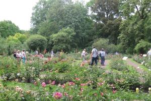 Wystawę róż odwiedziło 2,5 tys. osób