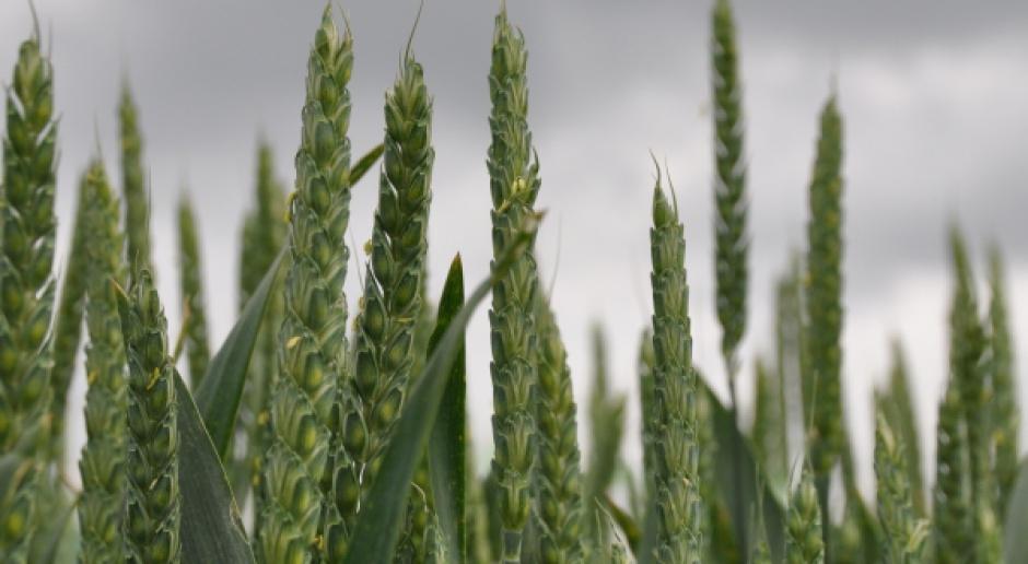 Słabe zakończenie tygodnia notowań amerykańskich zbóż
