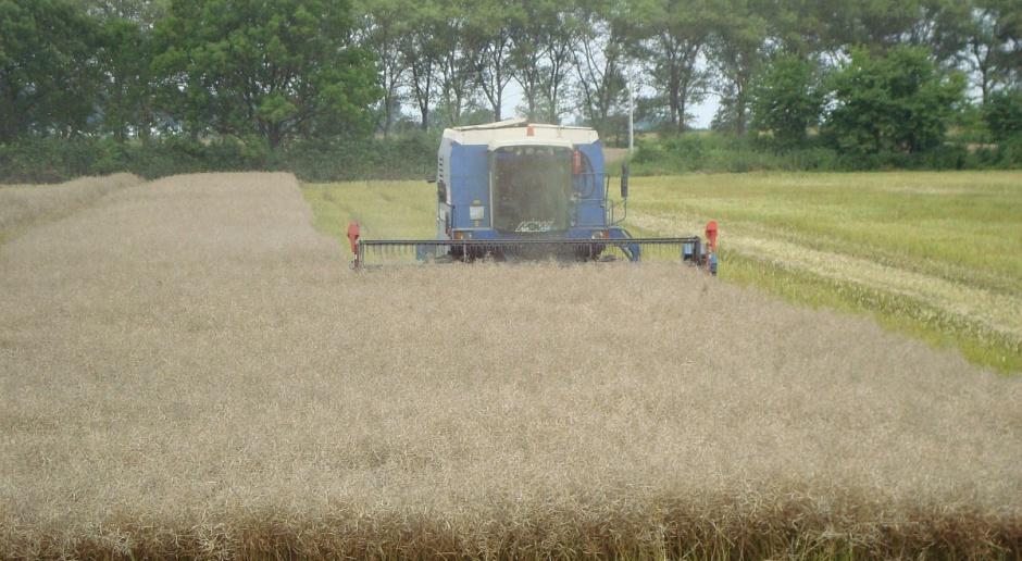 Ceny zbóż niezmienne, uwaga skupiona na rzepaku