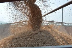 Jakość handlowa ziarna pszenicy