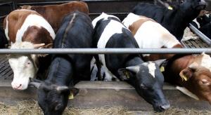 Dramat w cennikach bydła i problemy z odbiorem zwierząt