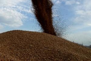 Żniwa przyspieszają, pierwsze sygnały o jakości ziarna