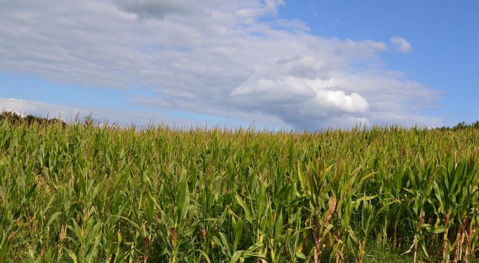 Kukurydza zagrożona głownią guzowatą kukurydzy