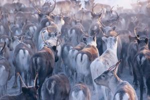 Wąglik zabił na Syberii ponad tysiąc reniferów